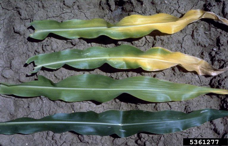 Corn_Nitrogen_deficiency