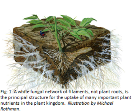 White Fungai network of filaments for uptake of plant nutrients helping indoor gardening and hydroponics in Alaska.